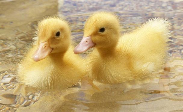 浅谈养鸭的选育以及饲喂