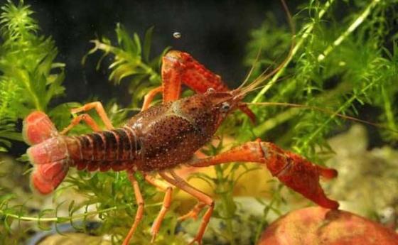 水草在龙虾养殖中的作用有哪些?