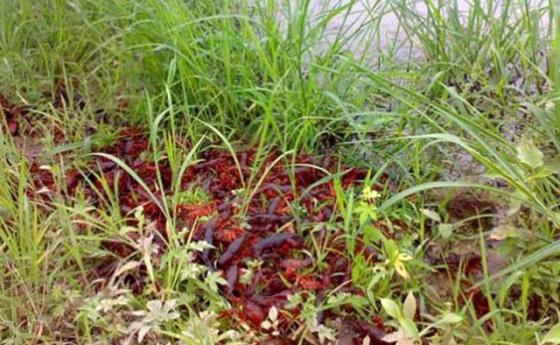 稻田养殖小龙虾如何做好水位调节?