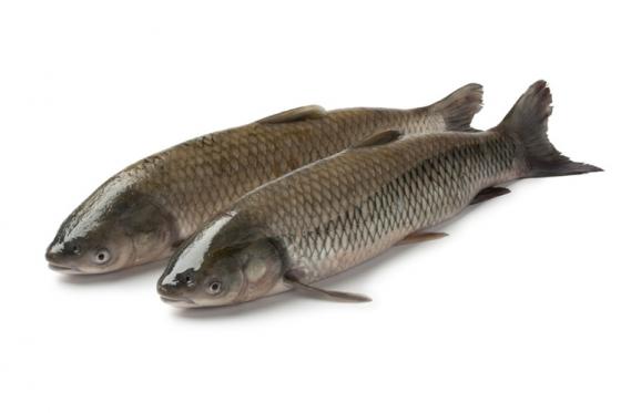 大规格草鱼养殖技术介绍