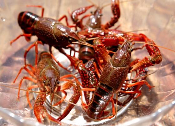 小龙虾健康养殖的底质改良方法是什么?