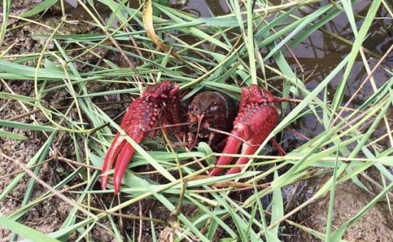 小龙虾捕捞方法及注意事项