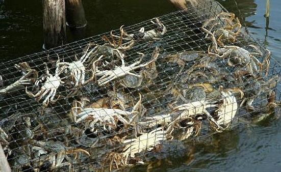 虾蟹养殖池塘蓝藻如何处理