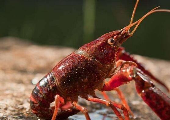 在虾养殖中,关于虾饲料我们容易存在的误区有哪些呢?