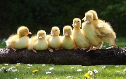 鸭春季产蛋的饲养管理步骤有哪些?