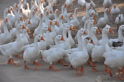 鹅如何喂养饲料