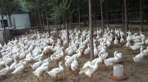 蛋鸭发酵饲料和鸡饲料区别